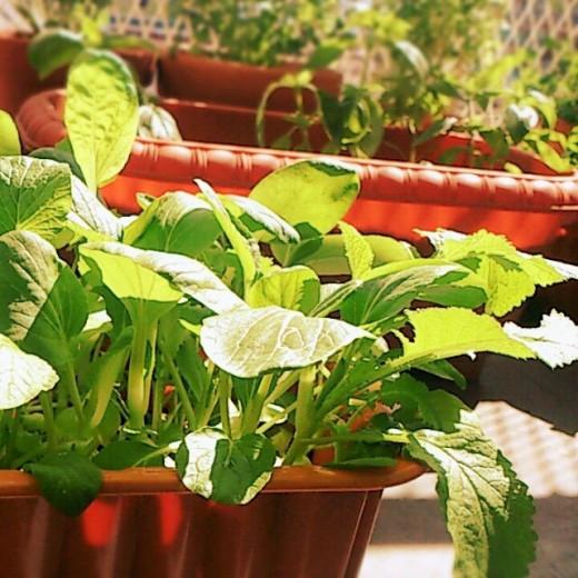 プランターはどう選ぶ?|ベランダ菜園に適した素材・サイズも解説