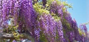 藤棚の魅力と作り方のポイント|お庭を幻想的な藤の花で彩ろう!