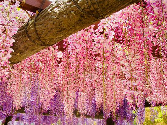 使用する藤の花は数種類組み合わせる