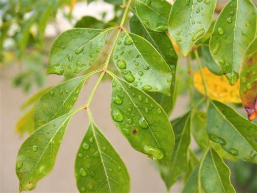 ウッドデッキの常緑樹(その02)