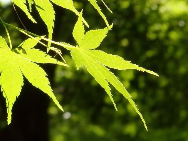 ウッドデッキの落葉樹(その02)
