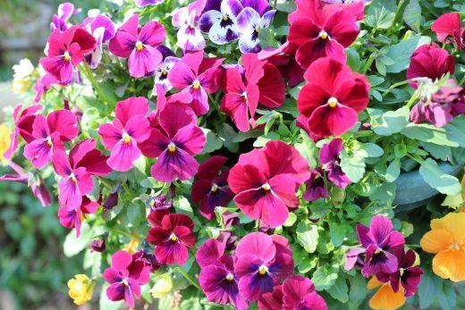 冬場のウッドデッキや庭を飾る花02