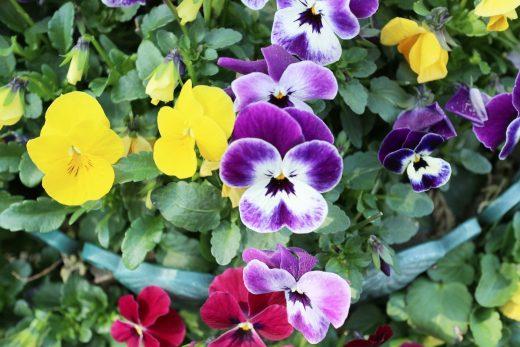 冬場のウッドデッキや庭を飾る花01