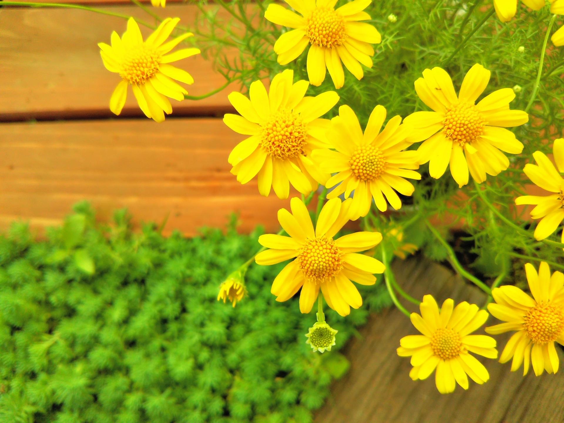 秋のウッドデッキや庭を飾る花(その01)